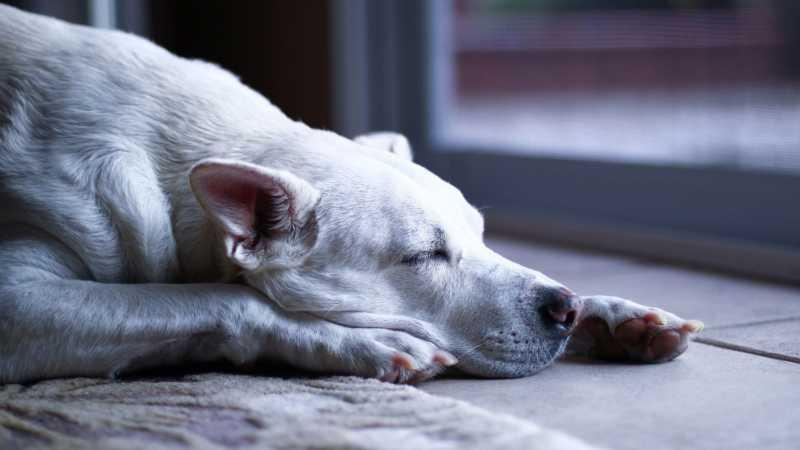 soñar con perros muertos