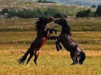 Soñar con caballos enojados