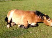 soñar con caballo herido
