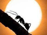 Soñar con hormigas negras