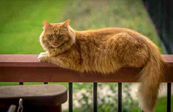 soñar con gato amarillo