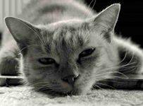 soñar con gato gris