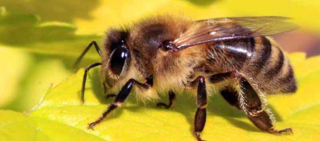 soñar con abejas negras