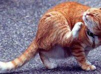 Soñar con pulgas en un gato