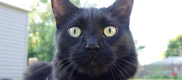 soñar con gatos negro
